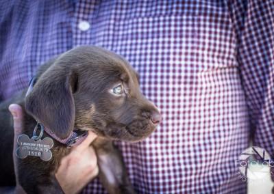 Labrador Friends of the South Adoption Day 6-14-17