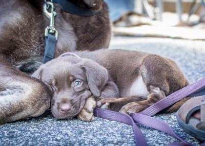 Labrador Friends of the South Adoption Day 6-14-62
